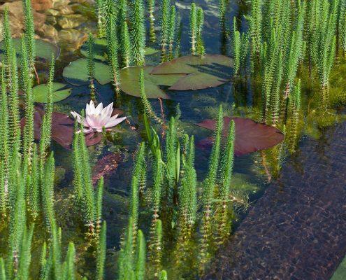 Schwimmteich Seerose